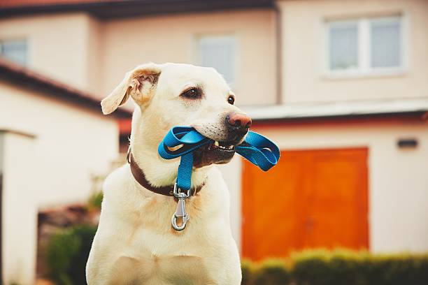 Dog with leash Labrador retriever with leash is waiting for walk. animal mouth stock pictures, royalty-free photos & images