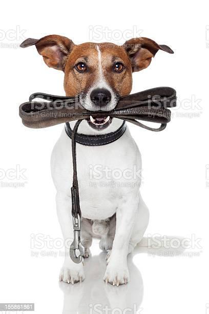 Dog with leather leash picture id155861861?b=1&k=6&m=155861861&s=612x612&h= gmnml4fwe9rwdjg8czrhfkhkn37sj0ctigydg7elyw=