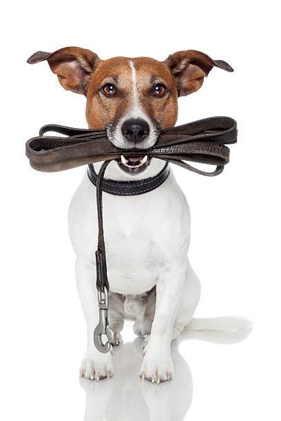 Dog with leather leash picture id155861861?b=1&k=6&m=155861861&s=612x612&w=0&h=p6bwojyjlqn sq6csuyt rzzxjlz5s2exhdmfdn0mio=