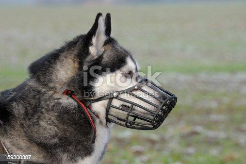Portrait of a Siberian husky wearing a muzzle