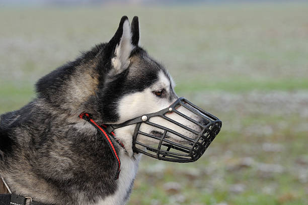 Dog with muzzle Portrait of a Siberian husky wearing a muzzle snout stock pictures, royalty-free photos & images
