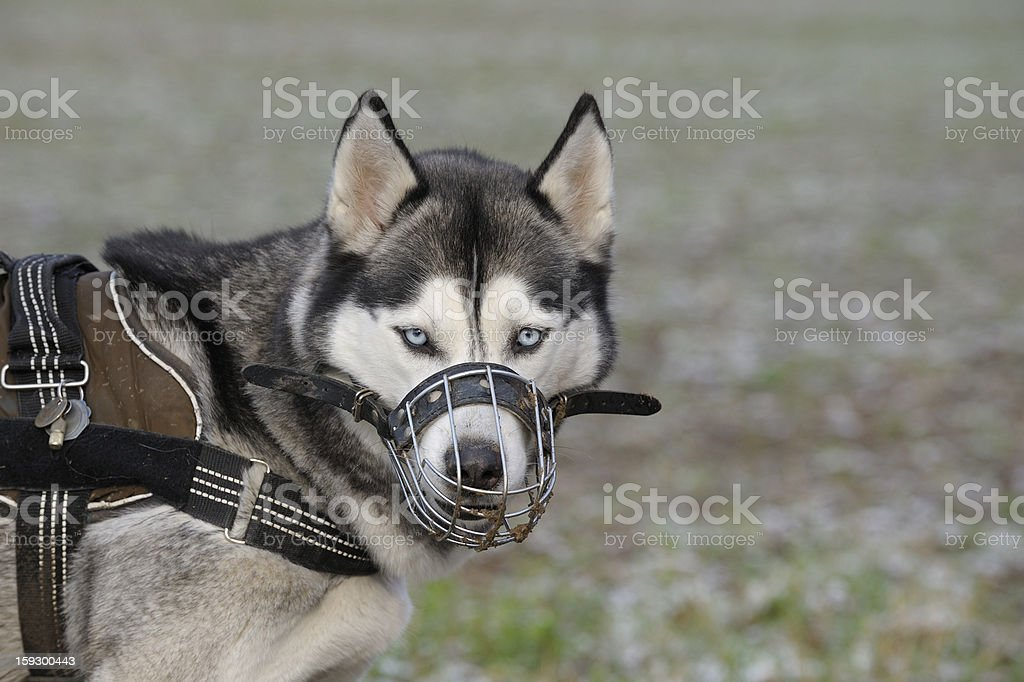 Dog with muzzle royalty-free stock photo