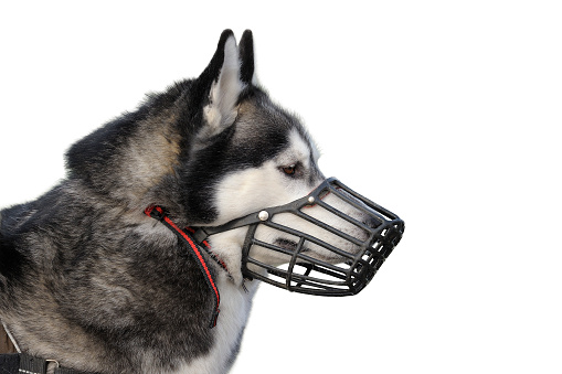 istock Dog with muzzle 495808378