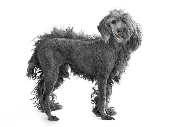 chien avec la moitié seulement de sa coupe de cheveux et rasé - moitié plein photos et images de collection