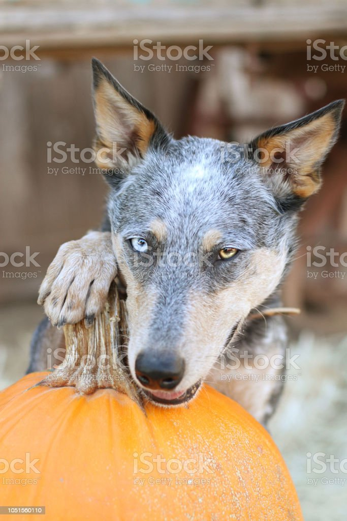 Dog with paw on Pumpkin stock photo