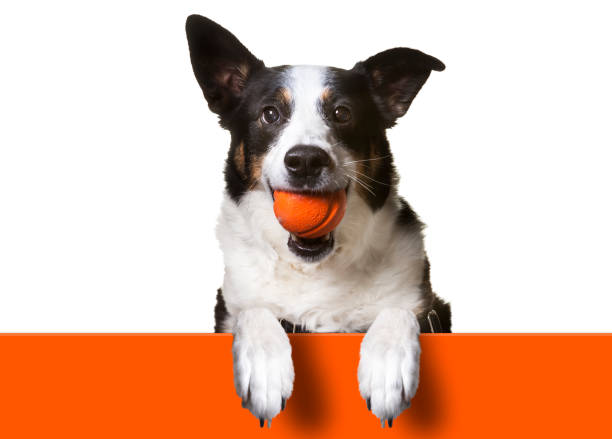 Dog with paws over orange sign holding orange banner border collie picture id645356792?b=1&k=6&m=645356792&s=612x612&w=0&h=atttmllekwx7gqdwvakvhrtkntyeyjcd y1mh8b3o6m=