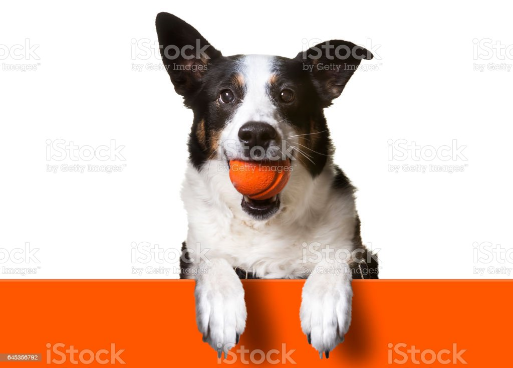 Dog with paws over orange sign, holding orange banner. Border Collie/ Terrier Mix stock photo