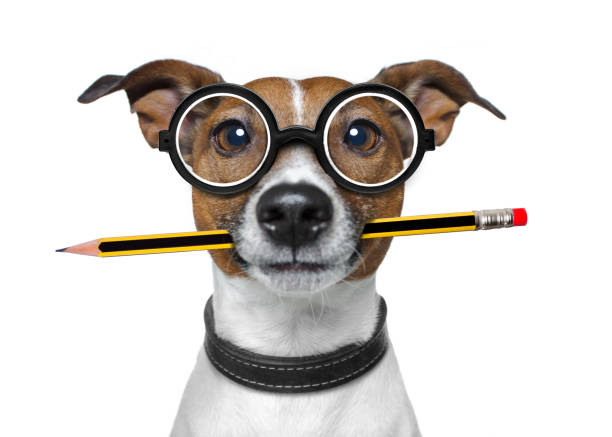 dog with pencil at the office jack russell dog with pencil or pen in mouth  wearing nerd glasses for work as a boss or secretary , isolated on white background nerd stock pictures, royalty-free photos & images