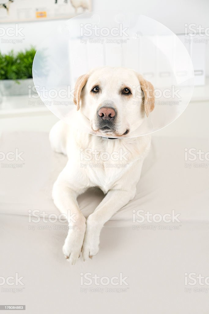 Dog With Protective Cone royalty-free stock photo