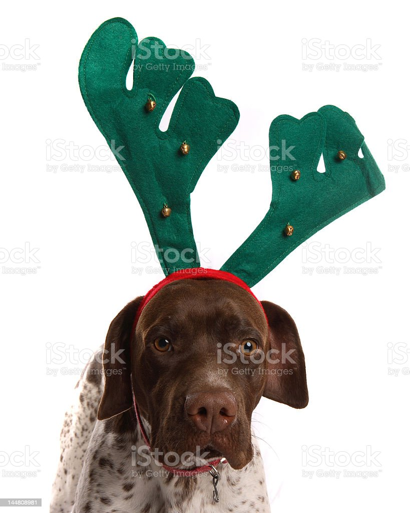 Dog with reindeer antlers stock photo