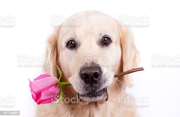 Dog with rose picture id157768684?b=1&k=6&m=157768684&s=612x612&h=pxs1qs3qvdwvg xg6jwitomcdaygleao0qzveutmyre=