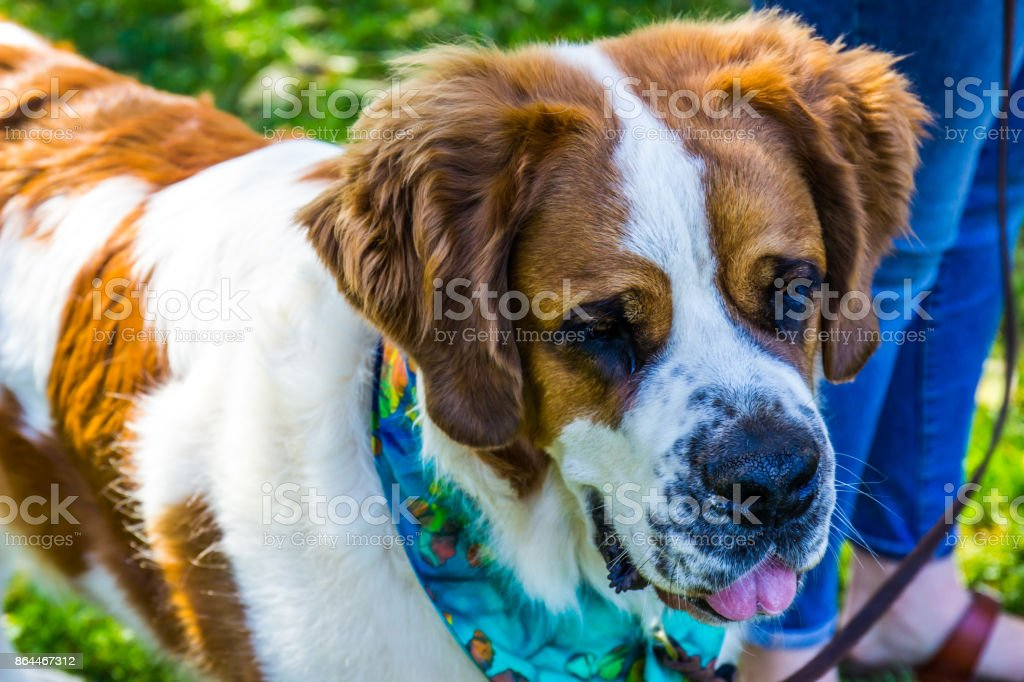 Dog With Scarf Up For Adoption stock photo