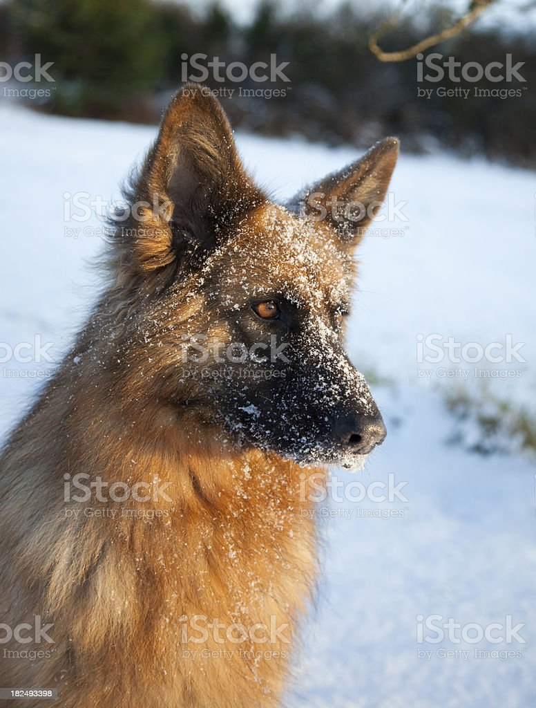 dog with snow on face royalty-free stock photo