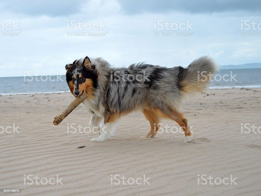 Dog with stick on beach stock photo