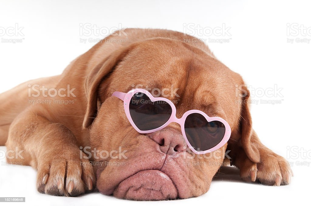 Dog with sunglasses royalty-free stock photo