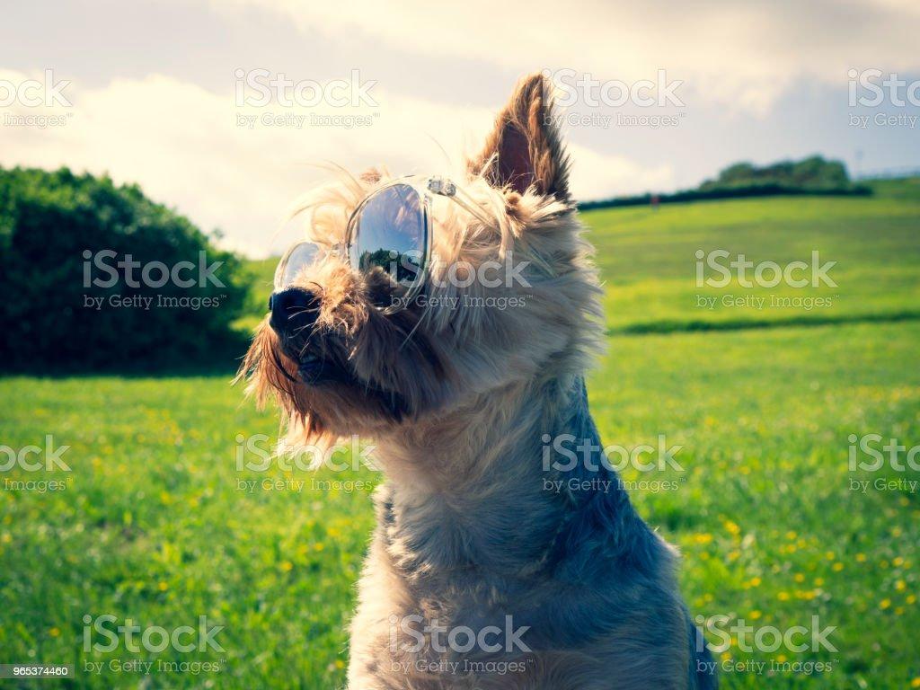 Dog with sunglasses zbiór zdjęć royalty-free