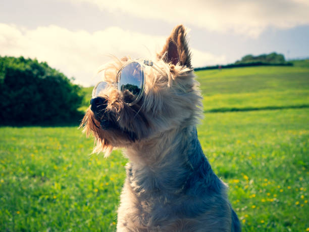 Dog with sunglasses picture id965374460?b=1&k=6&m=965374460&s=612x612&w=0&h=mu9omsh82y ri6h fvpkibshbhltno6pxe1yvh4kye4=