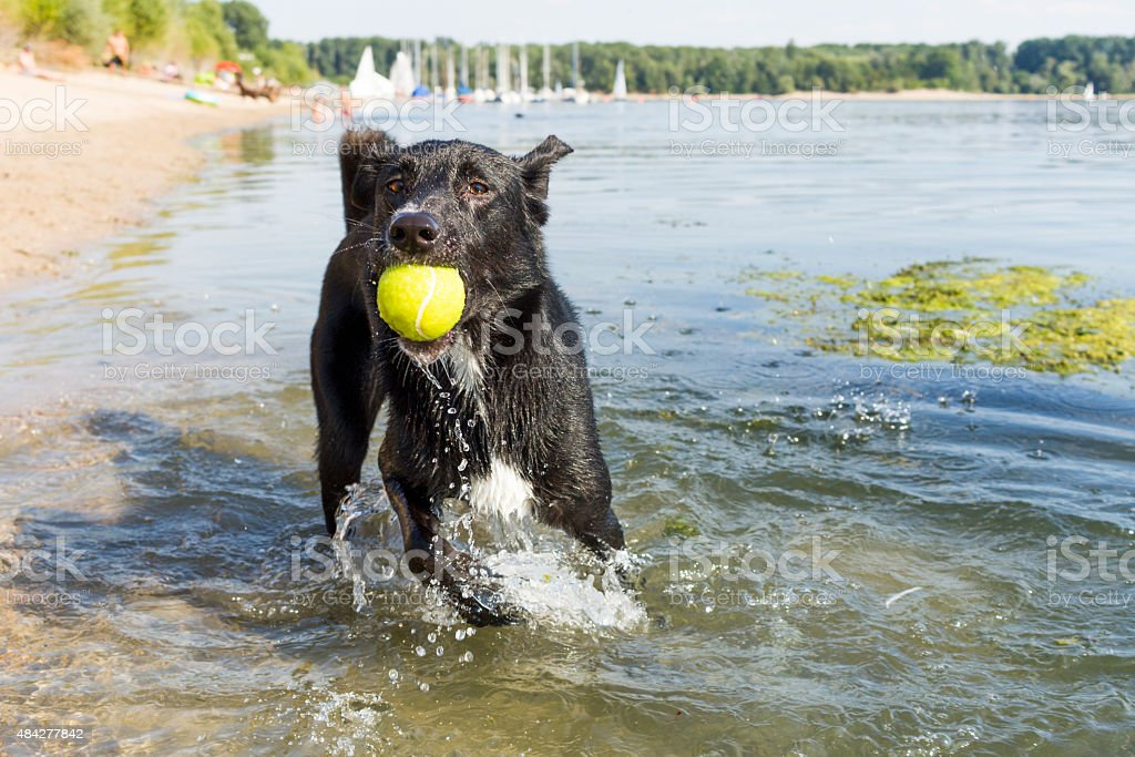Dog with Tennis Ball at Beach stock photo