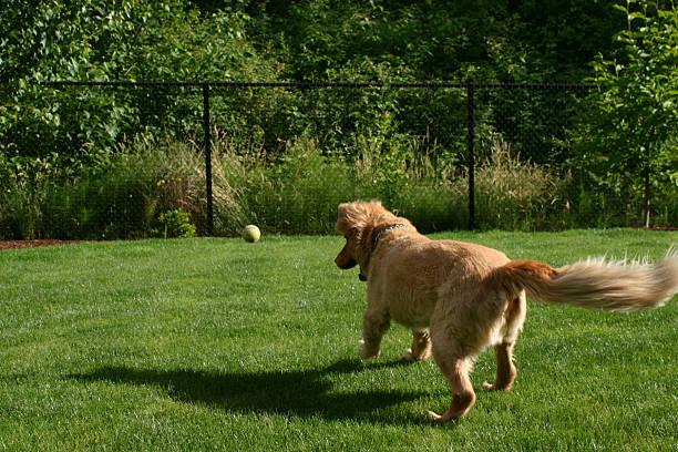 chien avec une balle de tennis - grillage photos et images de collection
