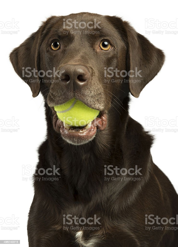 Dog with tennis ball stock photo