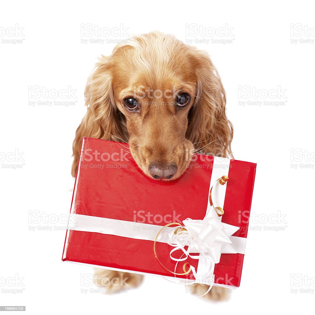 dog with the beautiful present stock photo