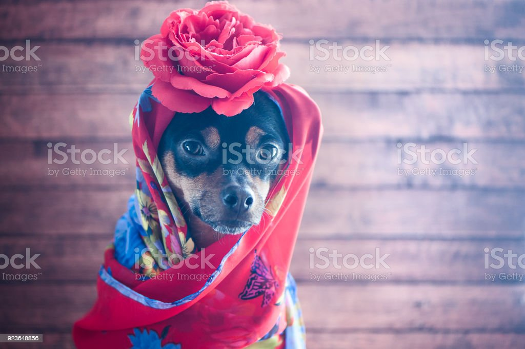 Dog with the red bandana and a rose on the head. Puppy in the form of Gypsy, Carmen, femme fatale stock photo