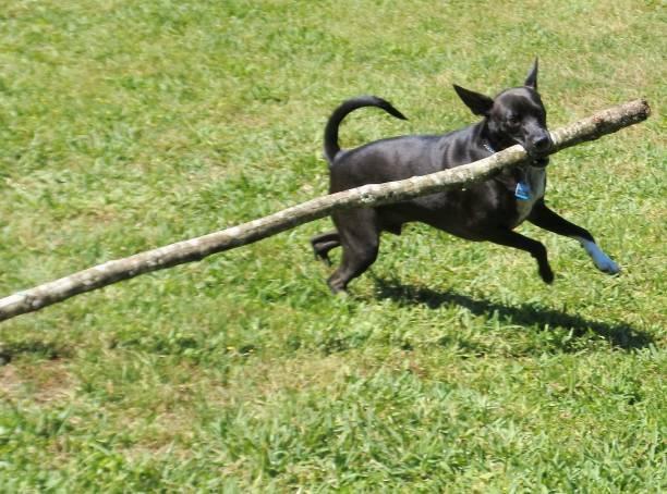 Dog with Too-Big Stick stock photo