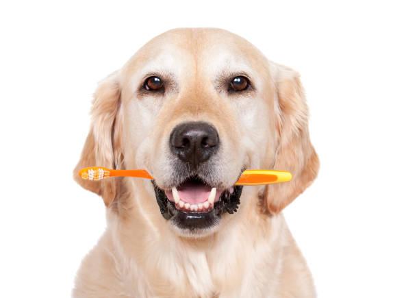 Dog with toothbrush picture id166327300?b=1&k=6&m=166327300&s=612x612&w=0&h=kfxxvrz6m0kiipne0obzr2wp1hojjfh8aqeqqimm8zu=