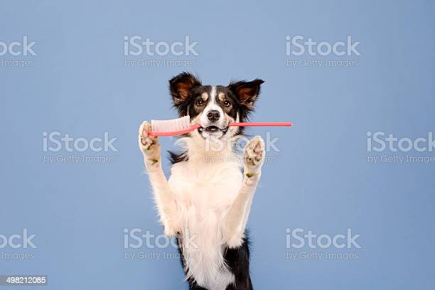 Dog with toothbrush picture id498212085?b=1&k=6&m=498212085&s=612x612&h=pgrz9ofeg6oxrxdllemfpvoizemlajne4ob3qk3qewy=