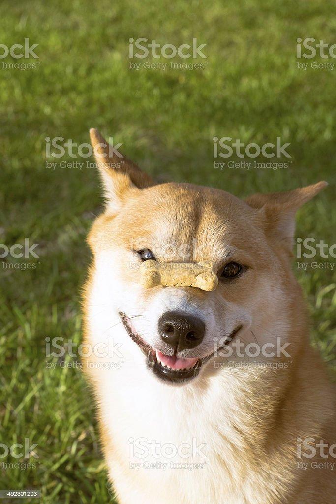 Dog with treat - happy stock photo