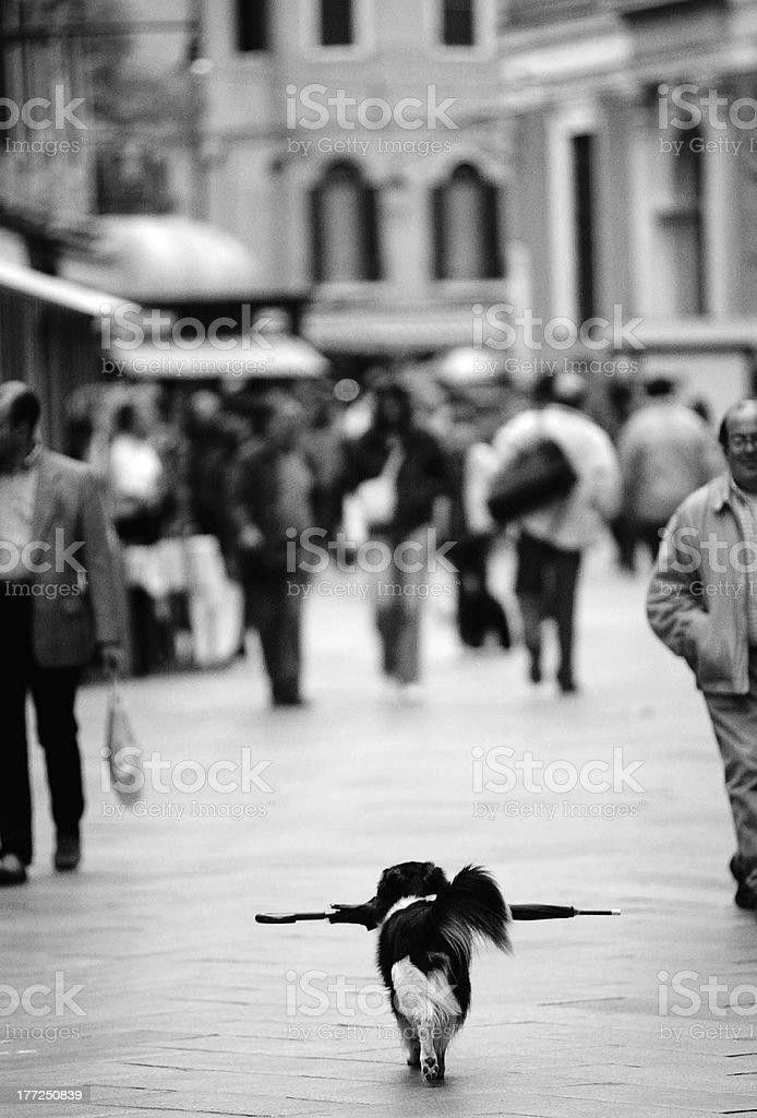Dog with umbrella royalty-free stock photo