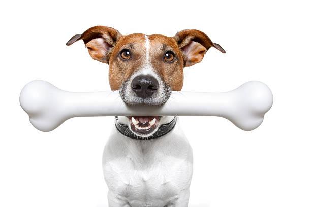 dog with white bone in his mouth - skelettben bildbanksfoton och bilder
