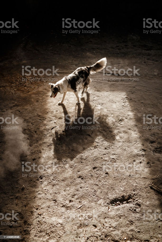 Dog with wolf shadow.