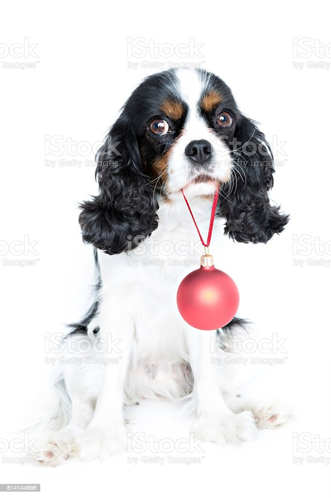 dog with xmas ball stock photo