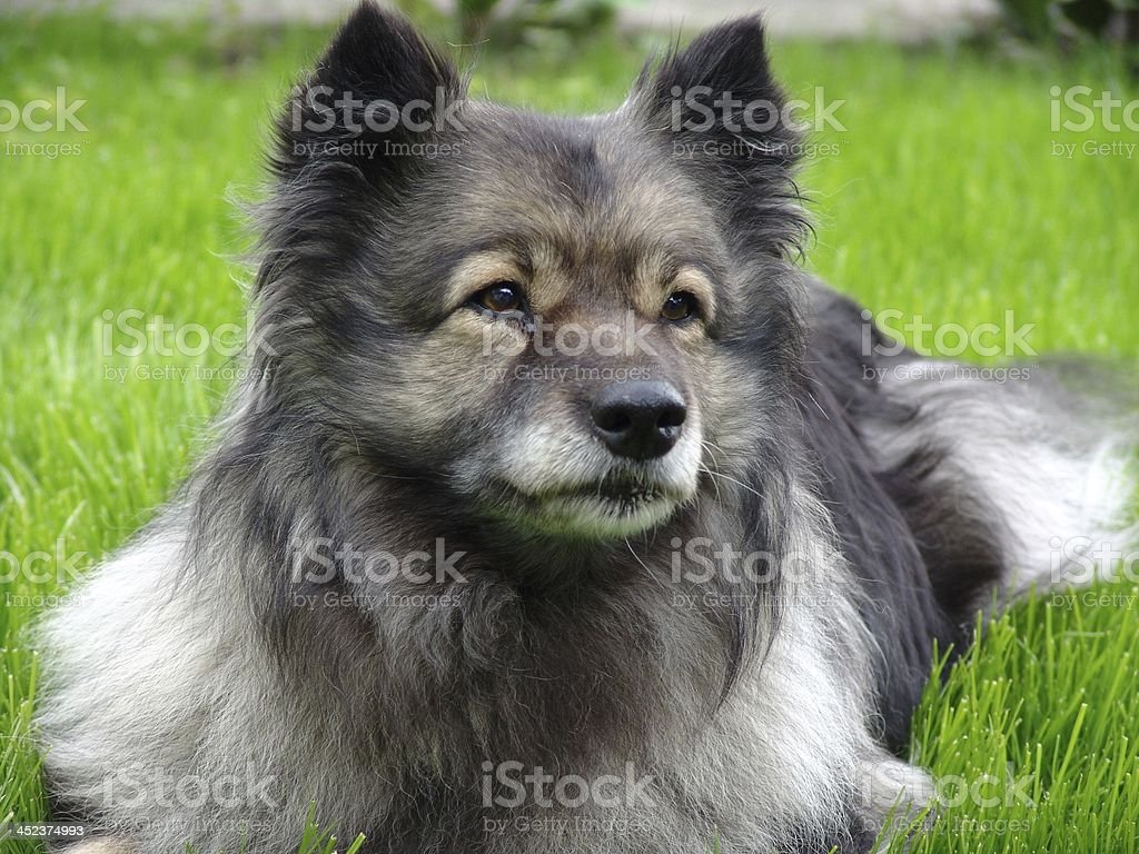 dog wolfsspitz stock photo