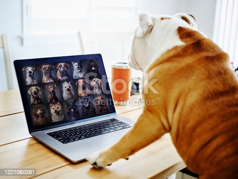 A bulldog working at home participating in a online web meeting.