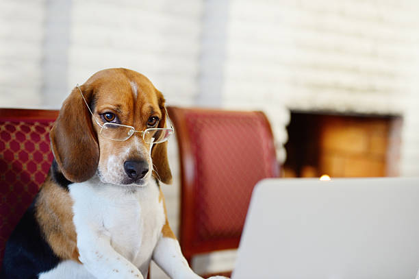 dog working comfortably from home - humor stock photos and pictures