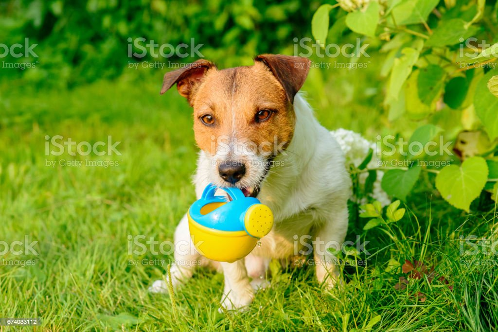 Dog working like gardener irrigating plants with watering can royalty-free stock photo
