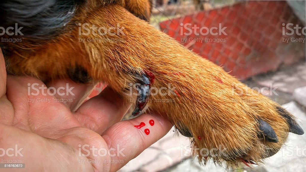 dog wounded paw stock photo