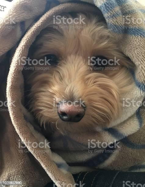 Dog wrapped in a blanket picture id1025907890?b=1&k=6&m=1025907890&s=612x612&h=dgrm99hwkrnvljjmc0 qoz8oybdavo uia3rihor8qc=
