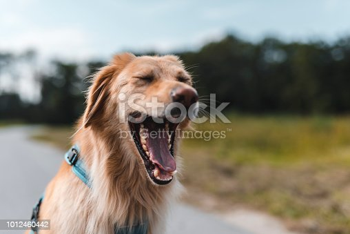 Dog yawning outdoors