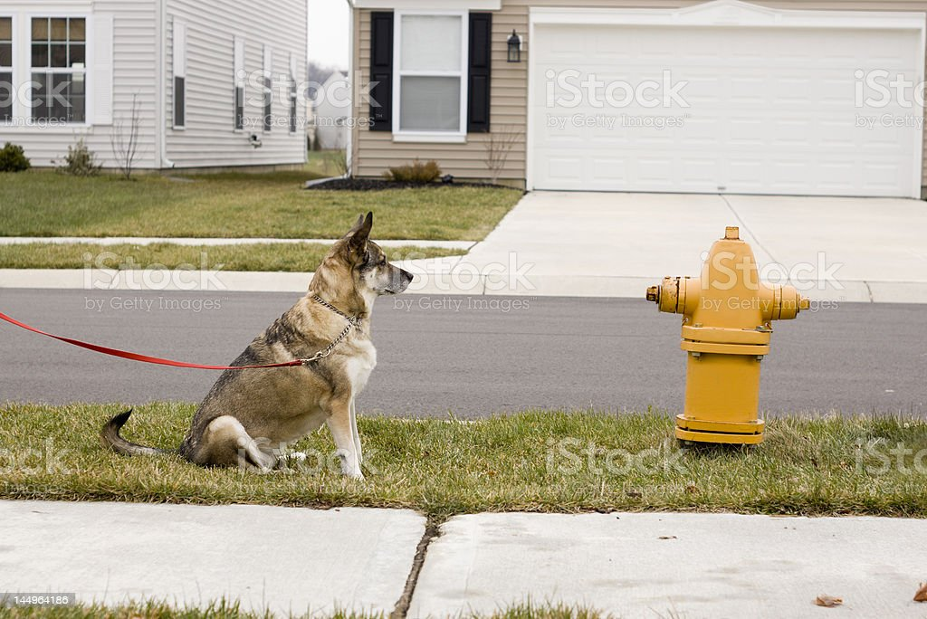 dog yearning for fire hydrant stock photo