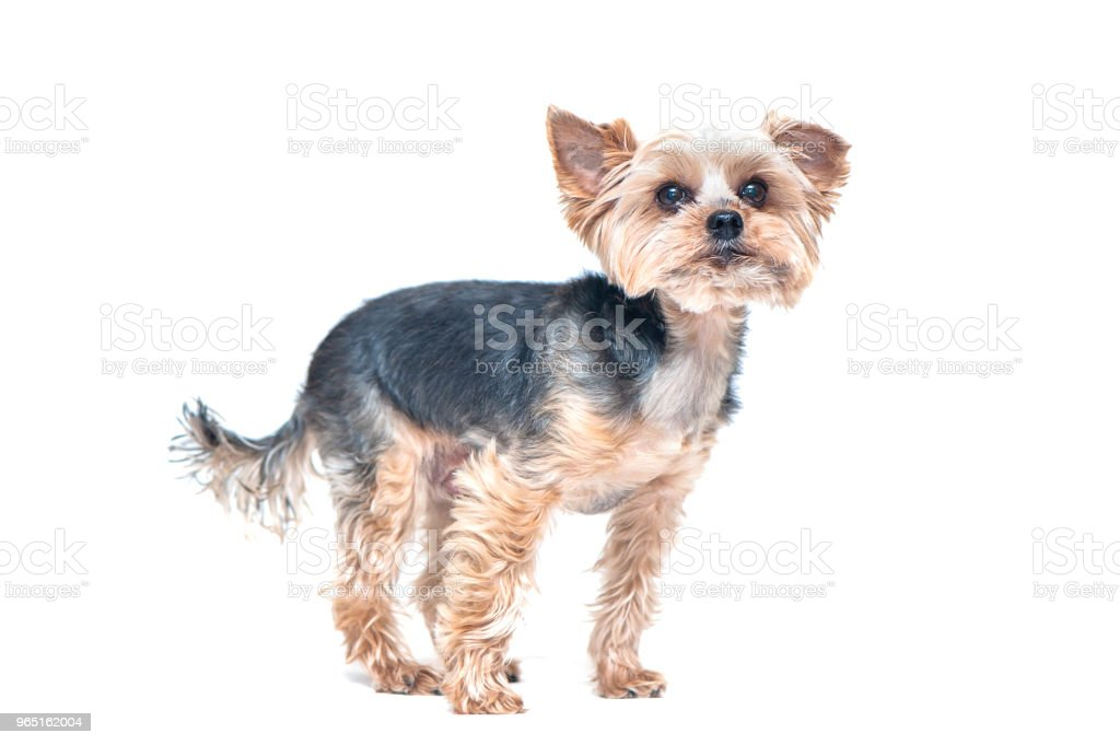 Dog, yorkshire terrier isolated on white royalty-free stock photo
