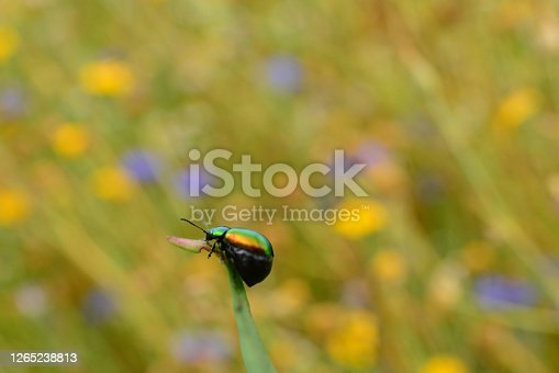 Dogbane leaf beetle( Chrysochus auratus)  on top of a leaf with flowering field in the background.