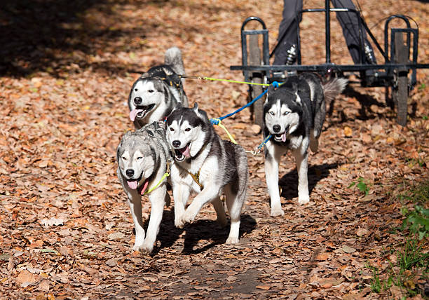 Dog-carting stock photo
