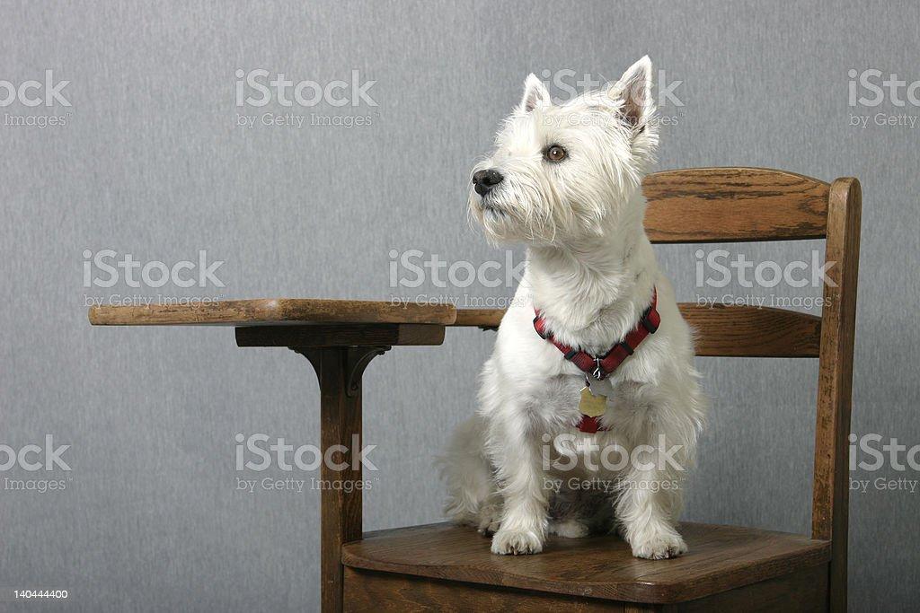 Doggone smart royalty-free stock photo