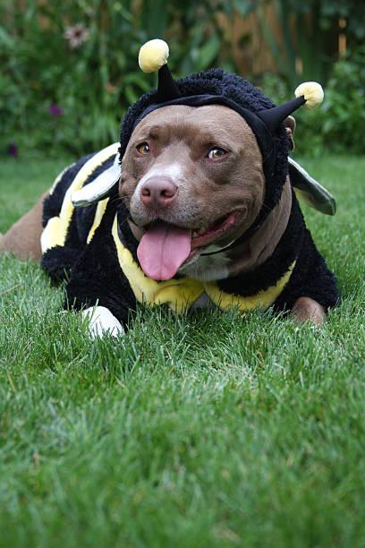 Doggy Halloween Bumblebee stock photo