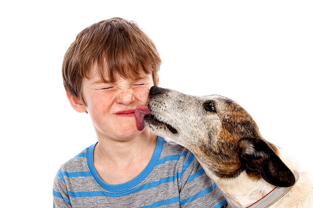 Doggy Kisses An old dog licking a little boy's face. Isolated on white. animal saliva stock pictures, royalty-free photos & images