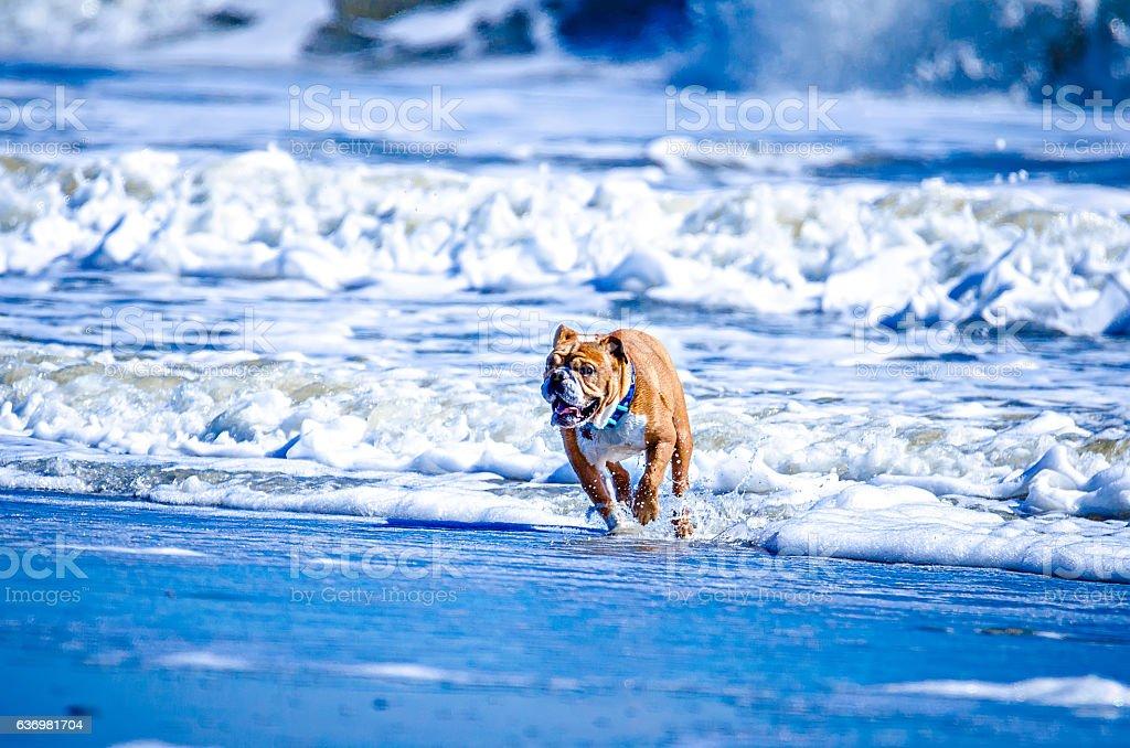doggy playing on the coast of south carolina stock photo