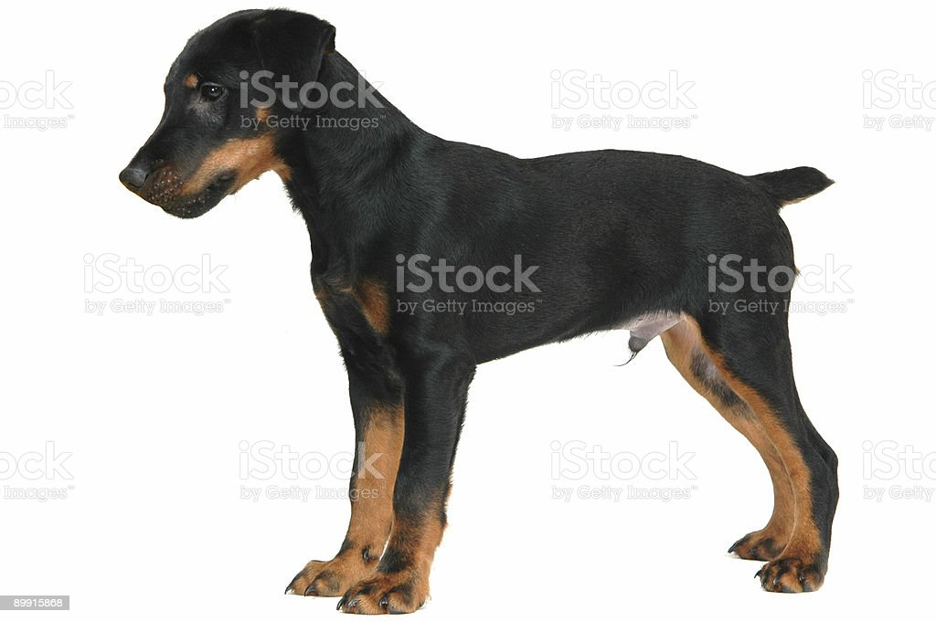 doggy playing with twig royalty-free stock photo